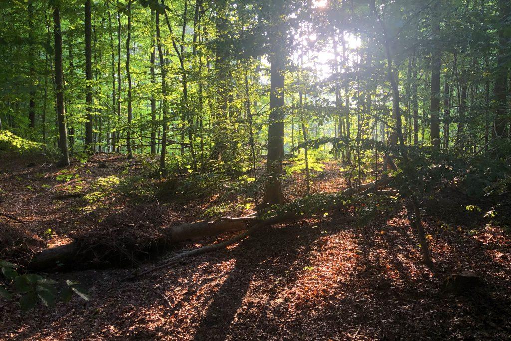 Sonnenstrahlen zwischen Bäumen im Wald